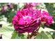 Róża 'Belle de Grecy'