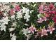Pachnące lilie orientalne