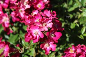 Róża 'Trier'