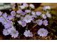 Hepatica nobilis grupa Multipetala