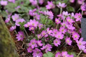 Hepatica nobilis 'Pink'