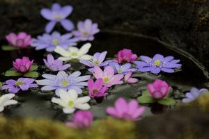 Różnorodność kolorów kwiatów przylaszczek