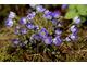 Hepatica nobilis 'Indigo Strain'