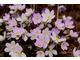 Hepatica nobilis var. pyrenaica