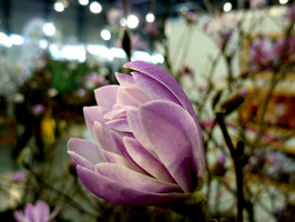 Magnolia 'Wine Light'
