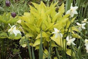 Hosta o liściach żółtych