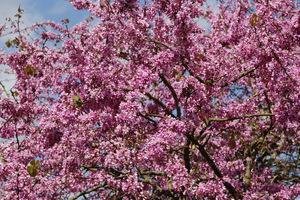 Drzewo judaszowca obficie obsypane kwiatami