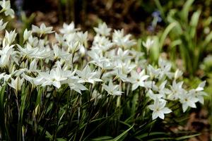 Ipheion uniflorum 'White Star' w leśnym ogrodzie