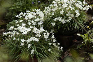 Ipheion uniflorum 'White Star'