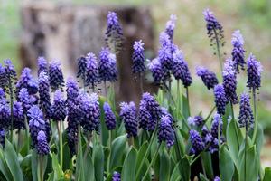 Szafirek - nieoceniona roślina cebulowa, podkreślająca urodę obieli