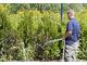 Zalecane jest systematyczne podlewanie, szczególnie przy sadzeniu jesiennym. Rośliny zimozielone w pochmurną pogodę zraszamy