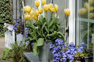 Tulipany w wiadrze