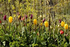 Tulipany przekwitną, a wtedy rozwiną się liście na krzewach