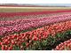 Tak się produkuje cebule tulipanów