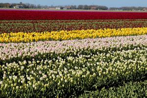 Tulipanowe pola w Holandii
