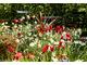 Białe narcyzy i czerwone tulipany