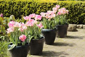 Takie same donice i identyczne tulipany dają elegancką kompozycję