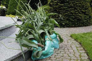 Wykopane, przekwitnięte tulipany