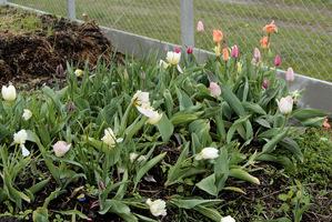 Tulipanowy kompost kwitnie