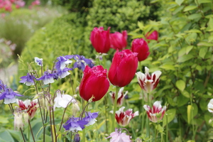 Tulipany z orlikami