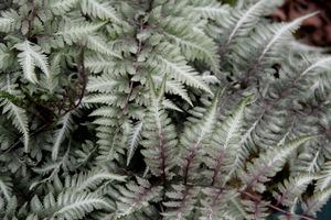 Athyrium niponicum var. 'Pictum' (wietlica)
