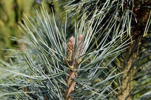 Sosna giętka (Pinus flexilis 'Firmament')