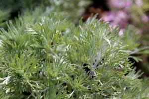 Artemisia schmidtiana (bylica)