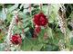 Róże i rdestnice