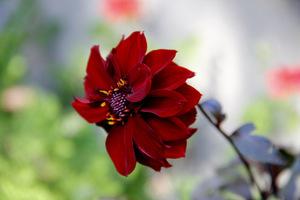 Dalia o ciemnych liściach i burgundowych kwiatach