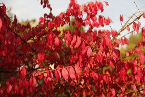 Liście trzmieliny oskrzydlonej jesienią