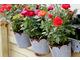 Róże miniaturki w wiszących doniczkach