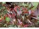 Liście zimozielonego głogownika