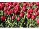 Masa tulipanów