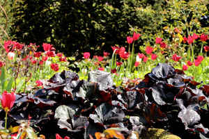 Czerwone tulipany i ciemne liście języczki