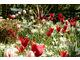Tulipany czerwono-białe