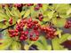 Ognik szkarłatny - Pyracantha coccineum 'Orange Glow'