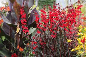 Egzotyczna czerwień - Lobelia cardinalis
