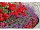 Czerwień z fioletem