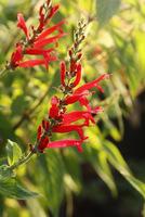 Kwiaty są wyraźnie wargowe, tworząc na prostych, wzniesionych łodygach spore grona.