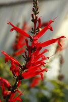 Jesienią, przed nadejściem mrozów, należy roślinę wykopać