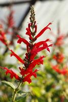 Salvia elegans czyli szałwia ananasowa, należy zarówno do roślin ozdobnych, jak i leczniczo-użytkowych