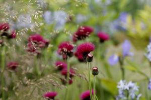Delikatne kłosy traw muskają nastroszonego ostrożenia