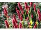 Persicaria amplexicaulis 'Fat Domino'