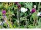 Pędy oblepione mszycami potrzebują kolonii biedronek w pobliżu