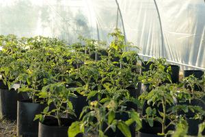 Pomidory wsadzone