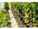 Obfity plon zdrowych pomidorów