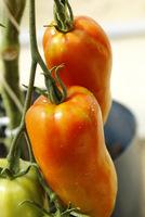 """Pomidory o nazwie """"Opalka' lub """"Bycze rogi""""."""