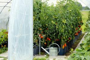 Imponująca uprawa zdrowych pomidorów