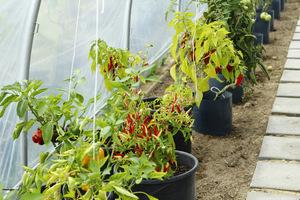 Obok pomidorów posadziłam paprykę