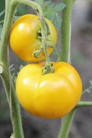 Pomidory żółte - równie smaczne